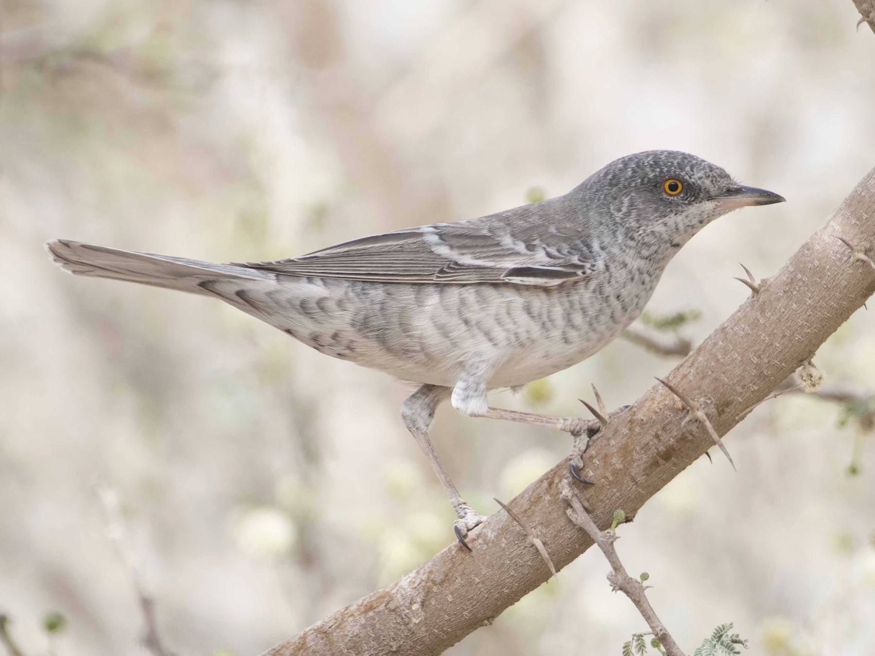 Barred Warbler - Huw Roberts