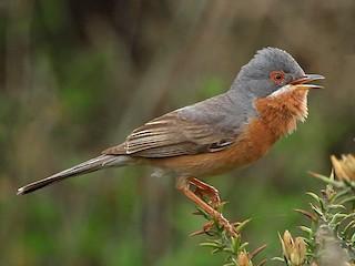 - Subalpine Warbler