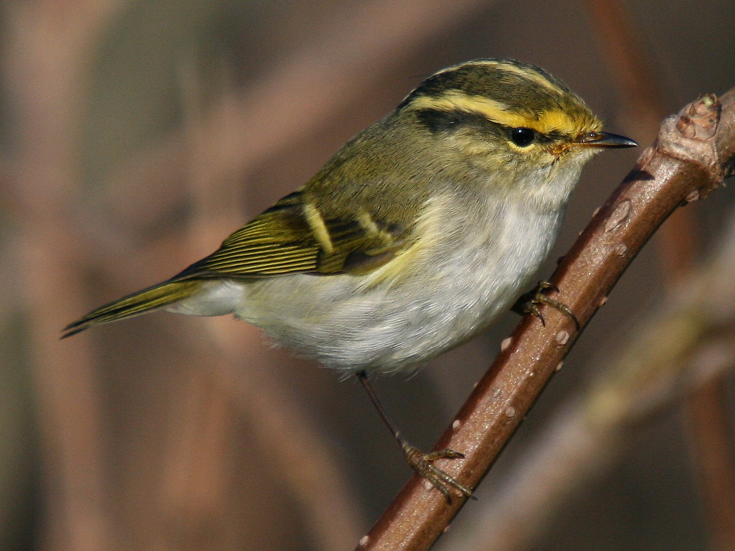 Pallas's Leaf Warbler - Christoph Moning