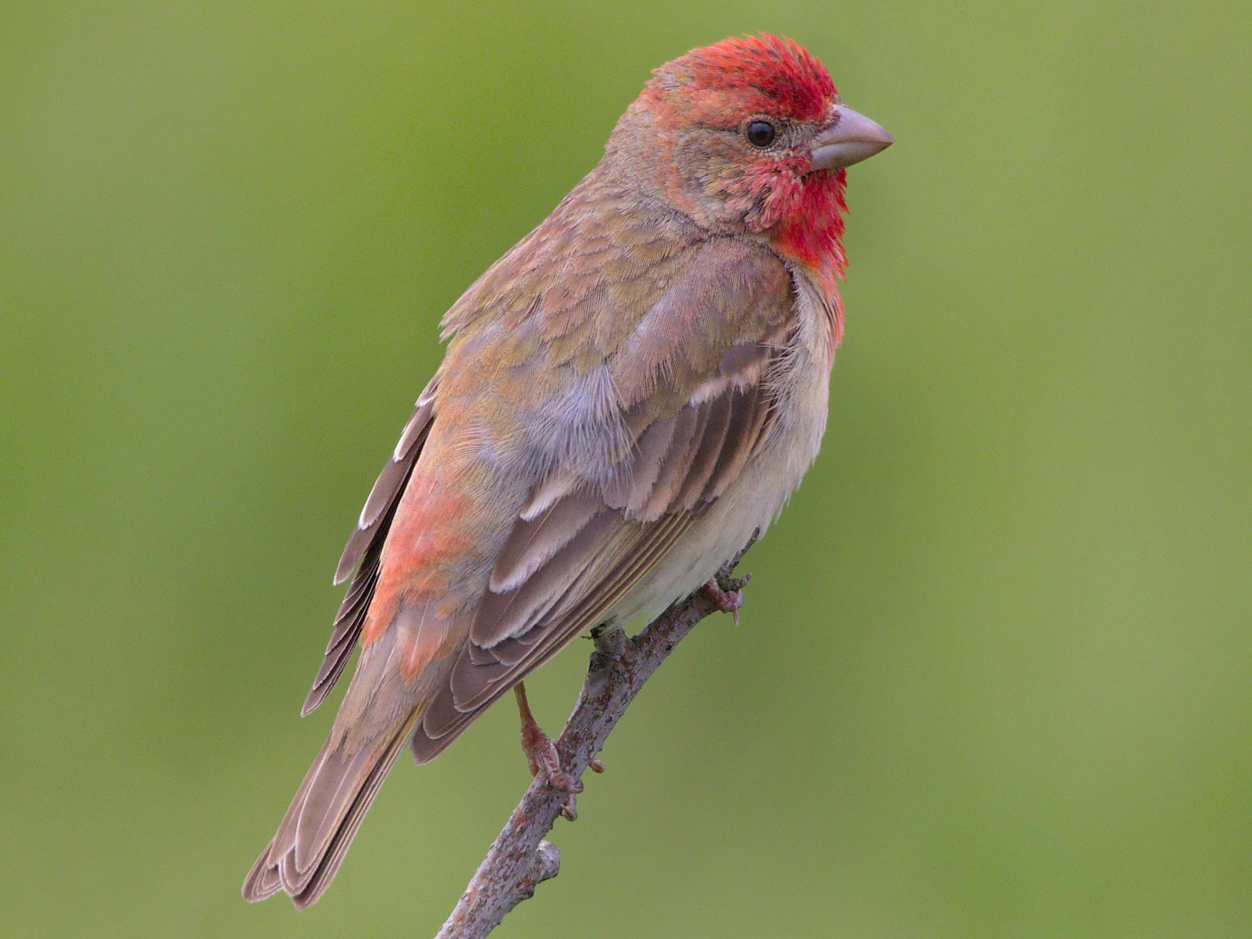 Common Rosefinch - Will Morris