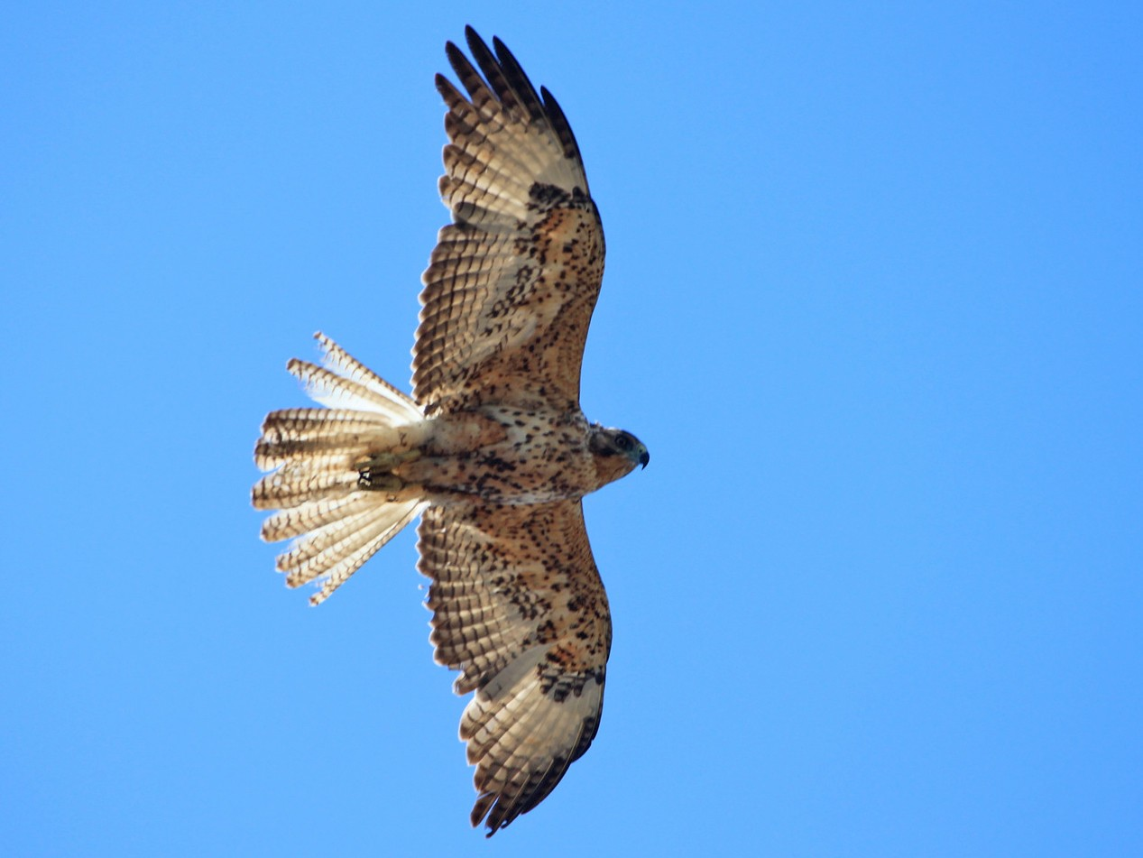 Galapagos Hawk - Nuno Gonçalves