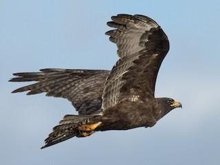 - Galapagos Hawk