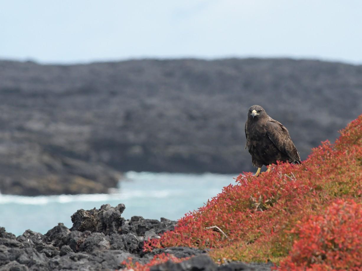 Galapagos Hawk - Joshua Vandermeulen