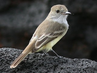 - Galapagos Flycatcher