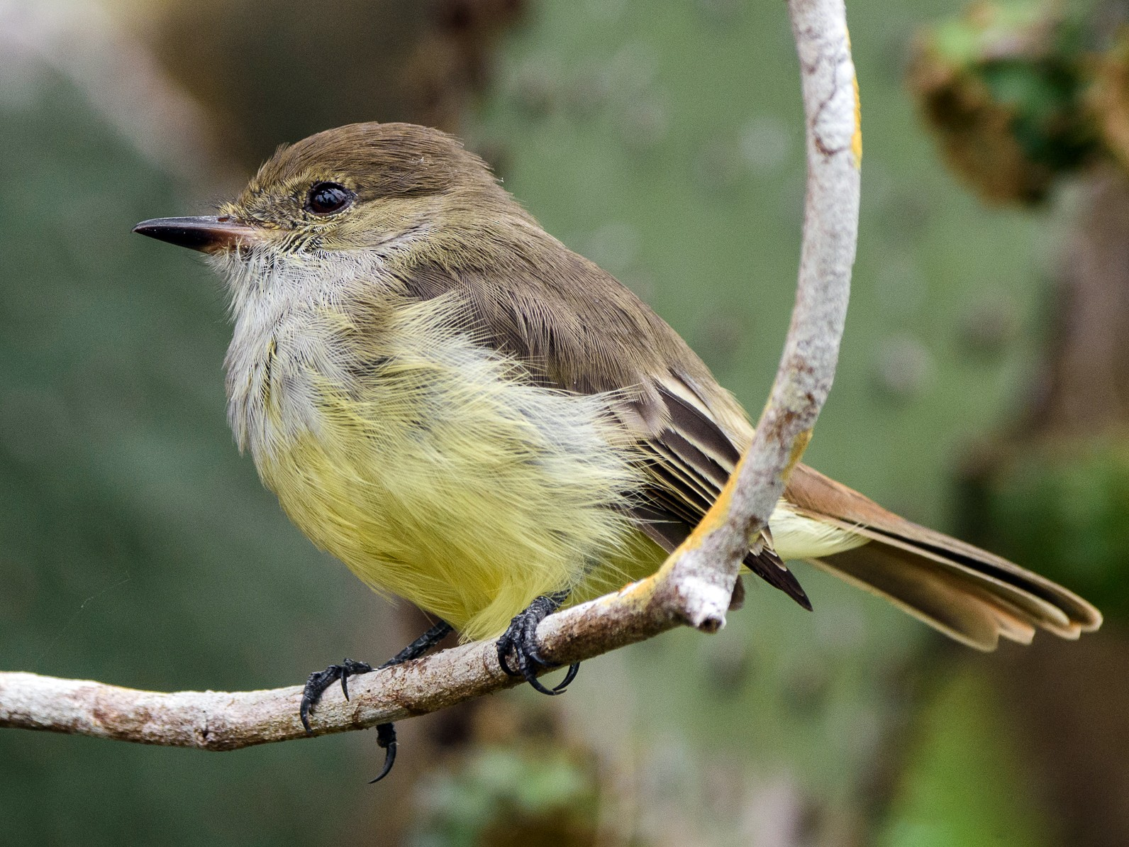 Galapagos Flycatcher - George Pagos