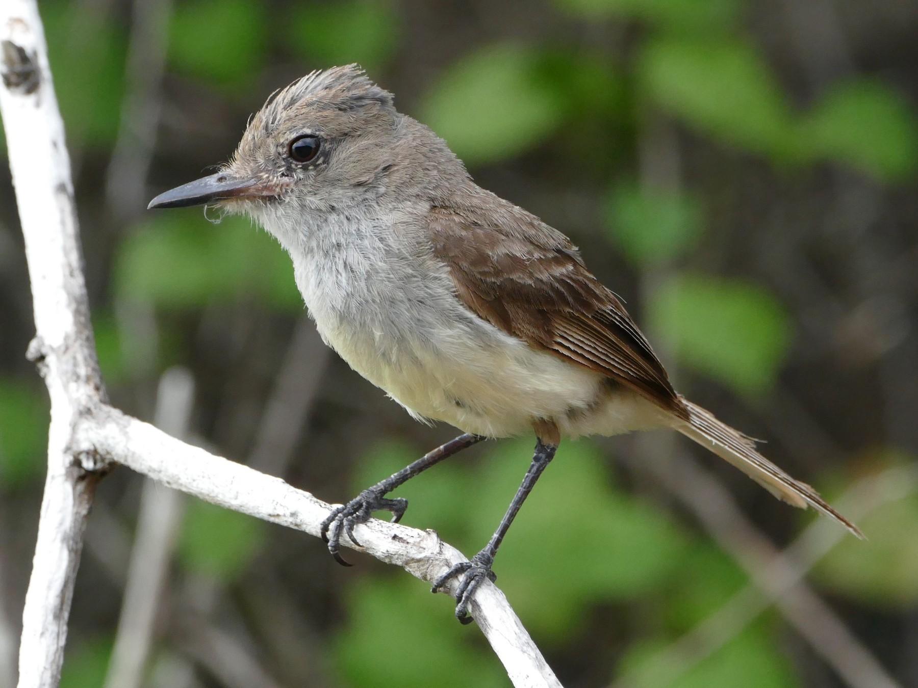 Galapagos Flycatcher - Peter Kaestner