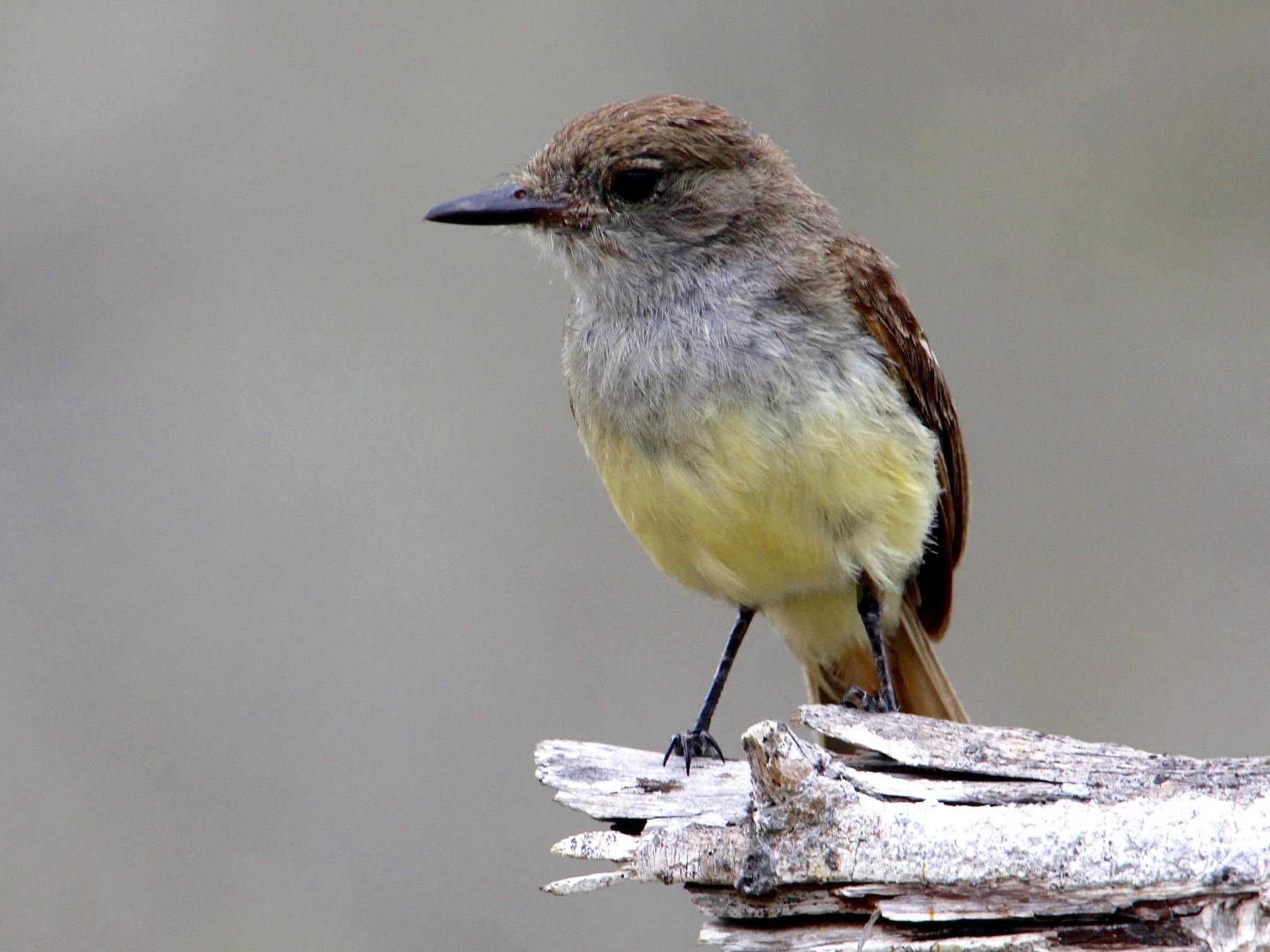 Galapagos Flycatcher - Robbin Mallett