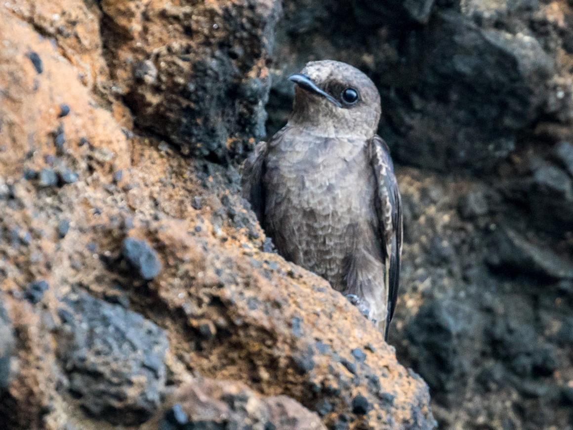 Galapagos Martin - John Reynolds