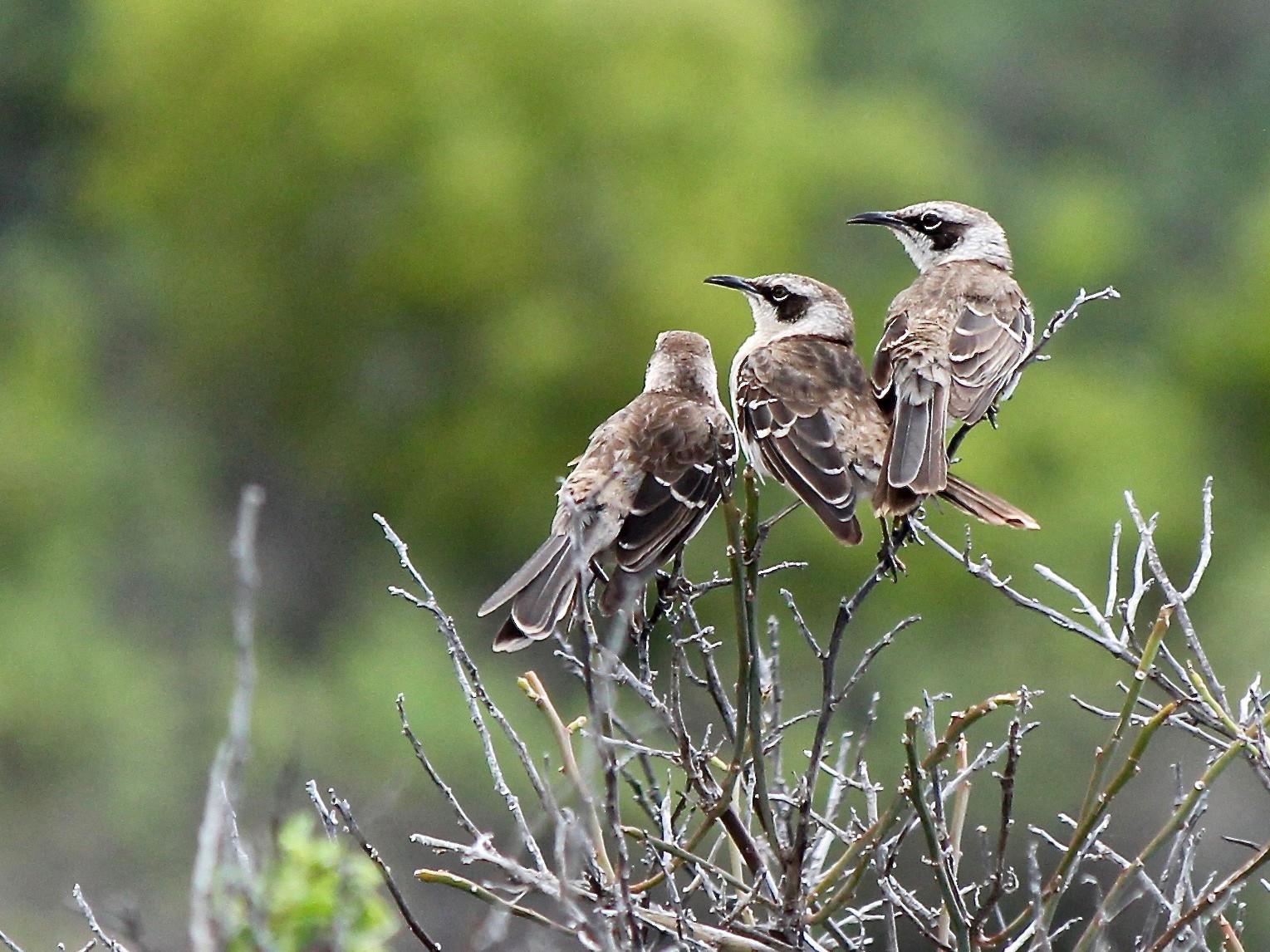 Galapagos Mockingbird - Michael Warner