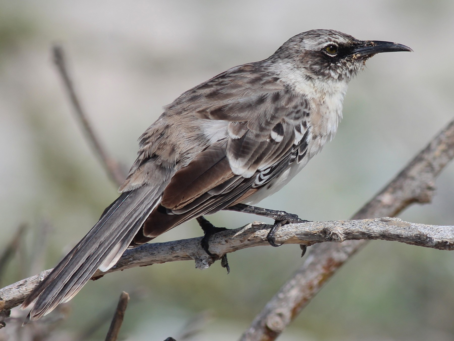Galapagos Mockingbird - Shawn Billerman