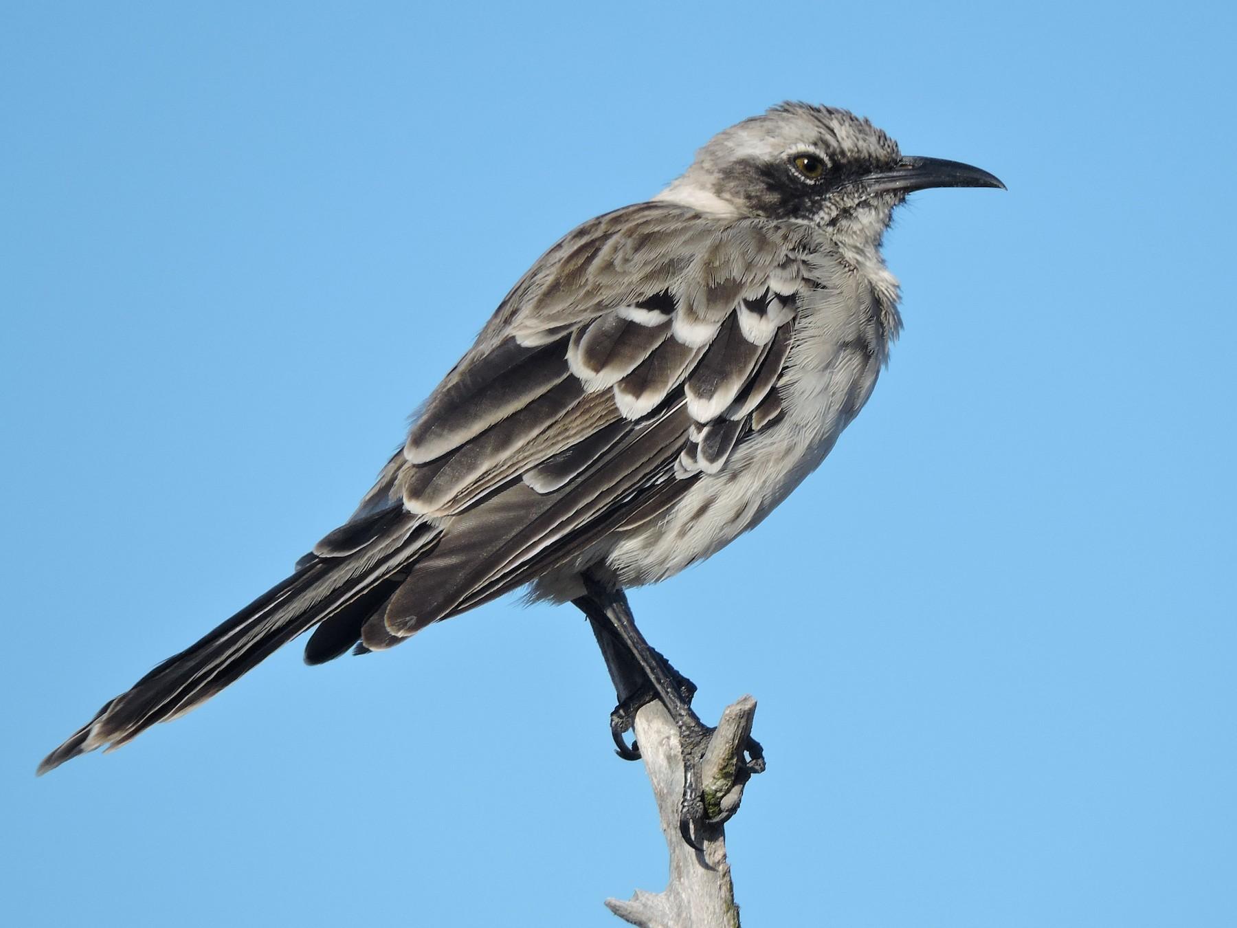 Galapagos Mockingbird - Jack  Bushong