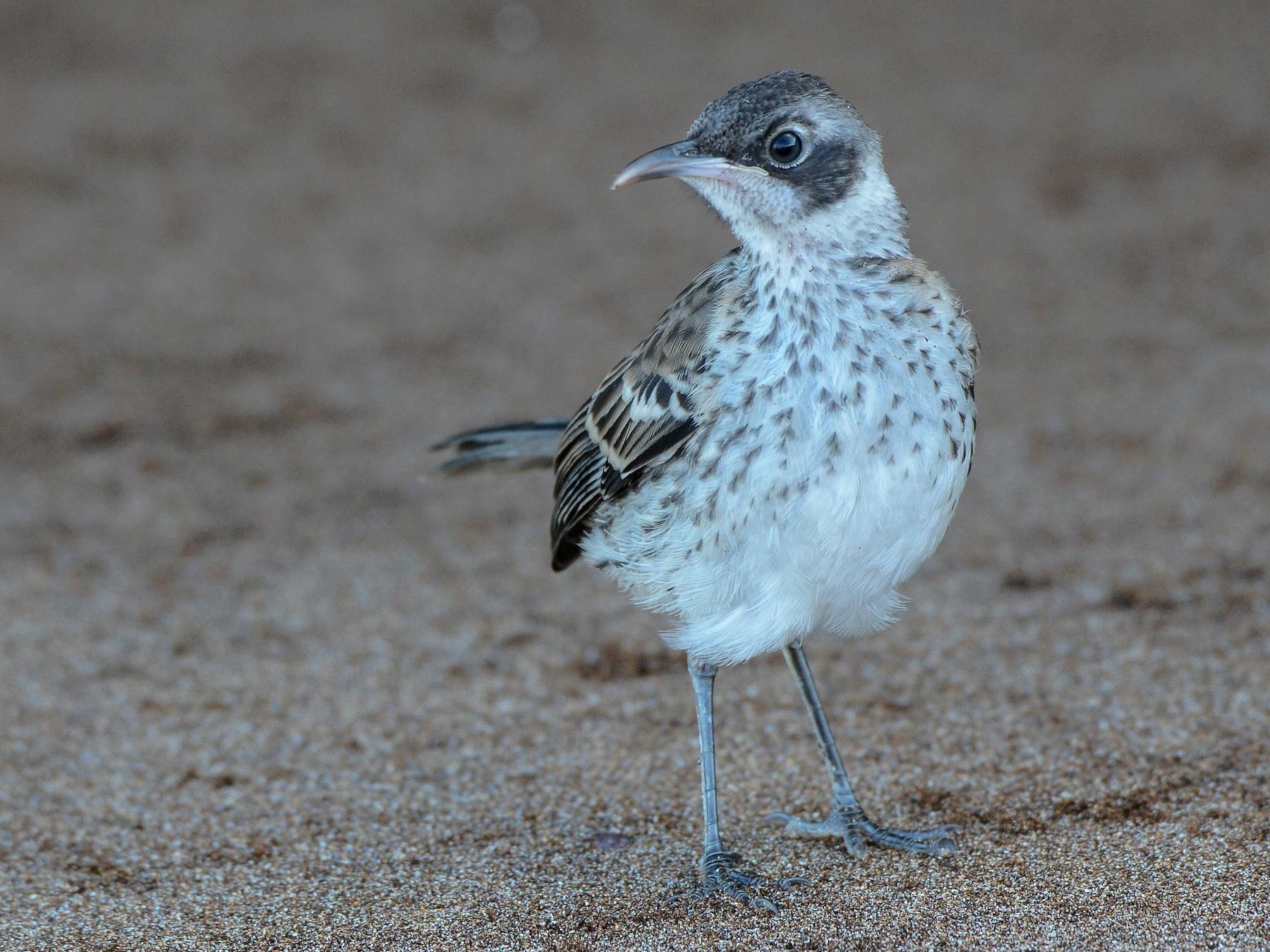 Galapagos Mockingbird - Erik Martin