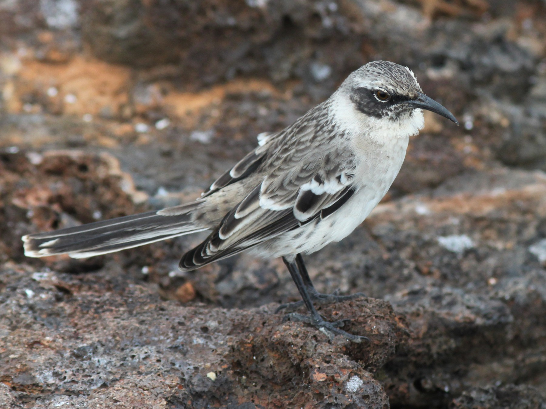 Galapagos Mockingbird - John Drummond