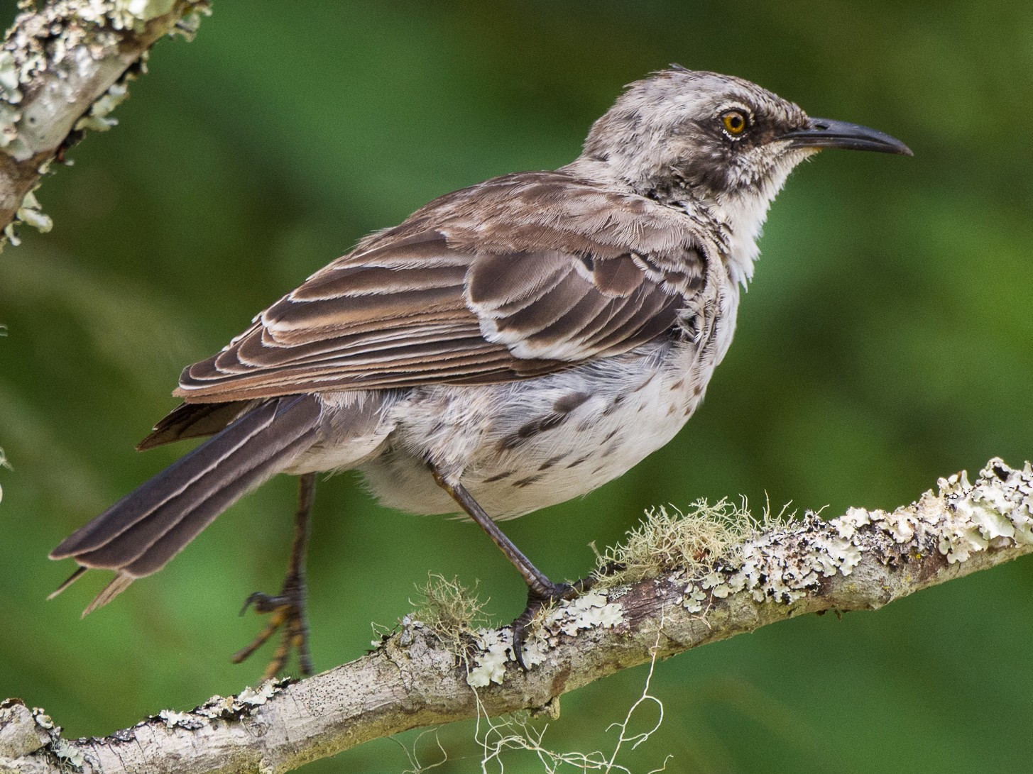 San Cristobal Mockingbird - George Pagos
