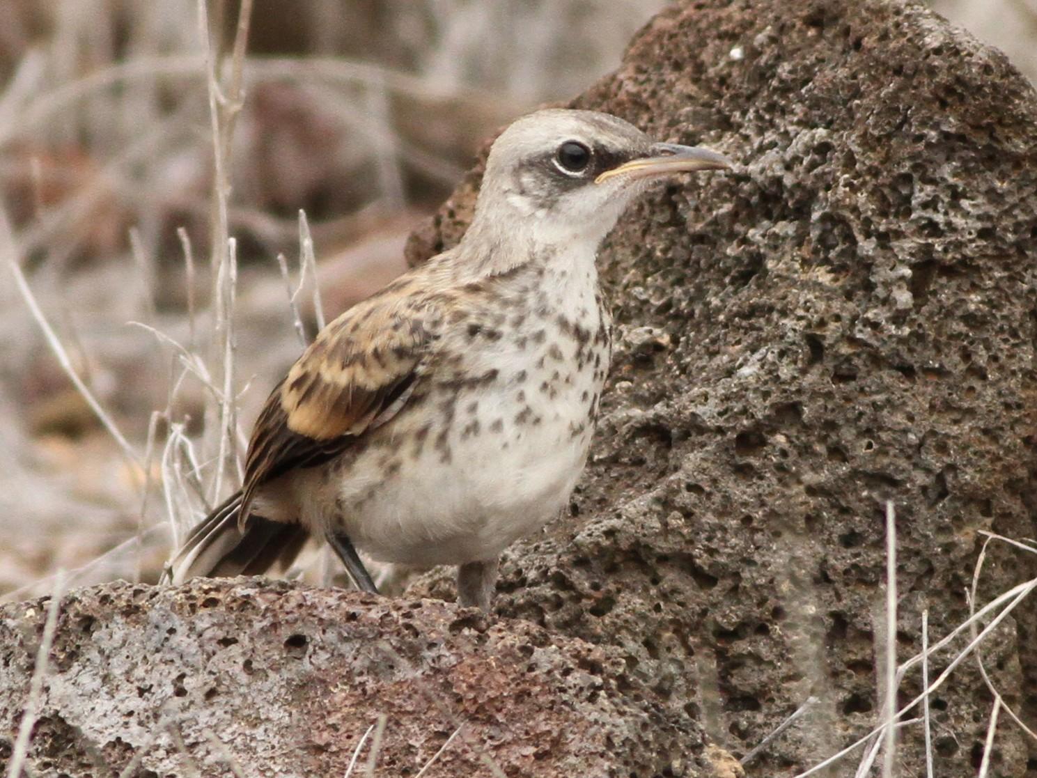 San Cristobal Mockingbird - David Weber