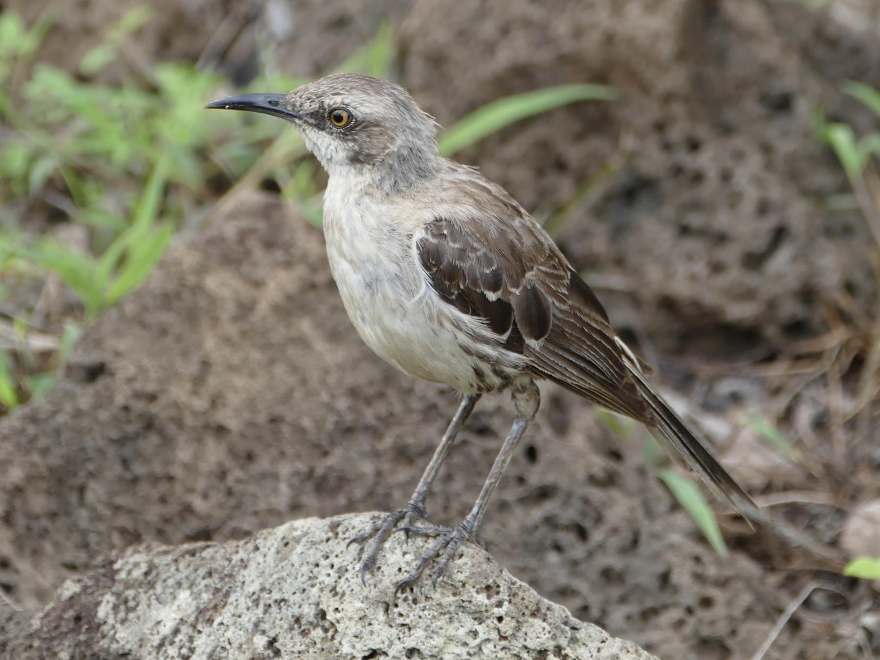 San Cristobal Mockingbird - Peter Kaestner