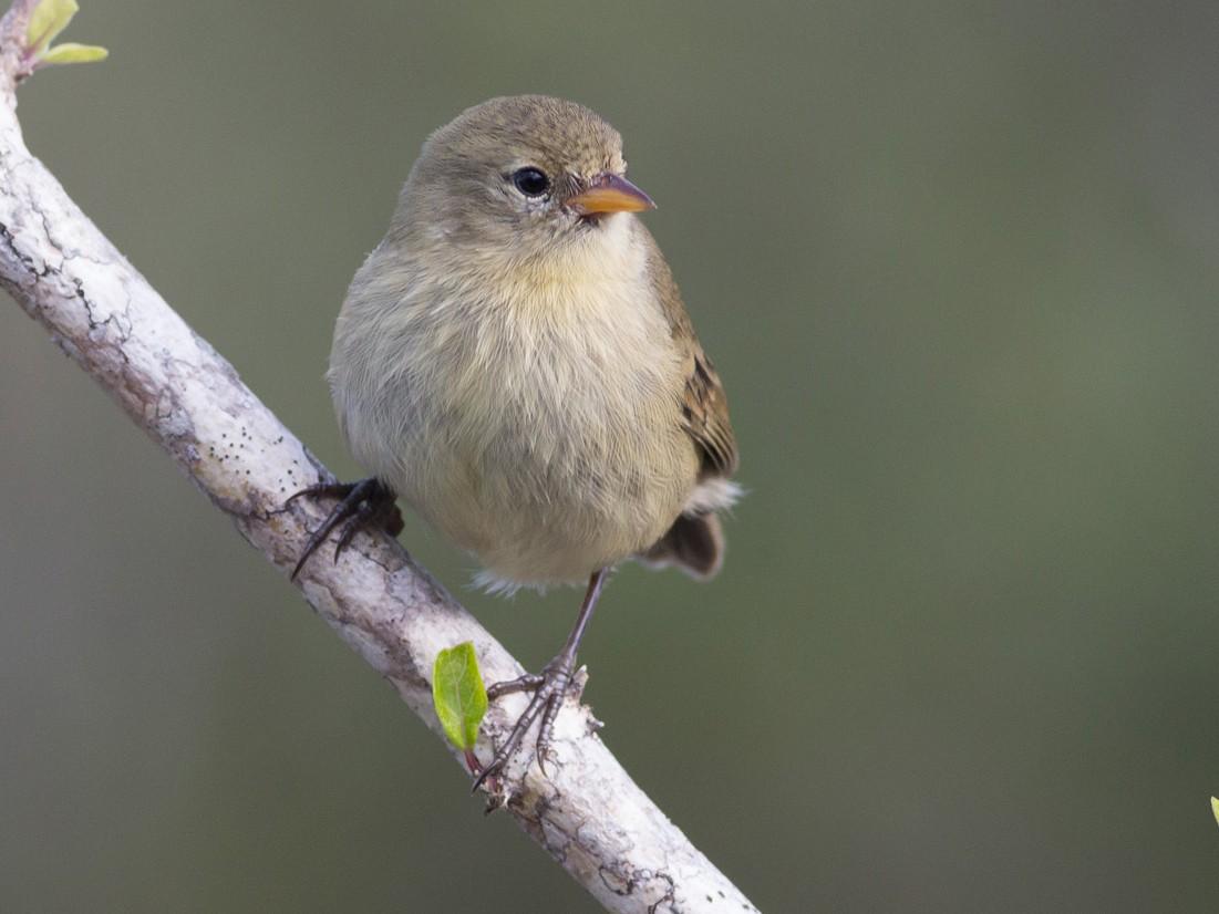 Gray Warbler-Finch - Darren Clark