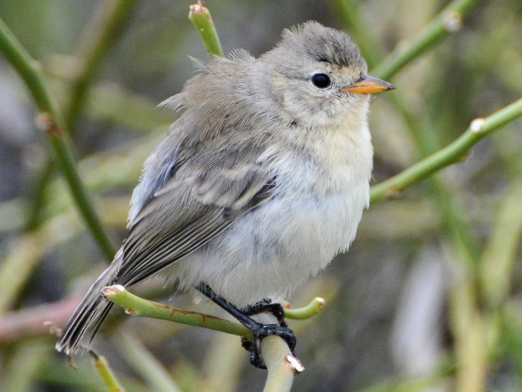 Gray Warbler-Finch - David Jeffrey Ringer