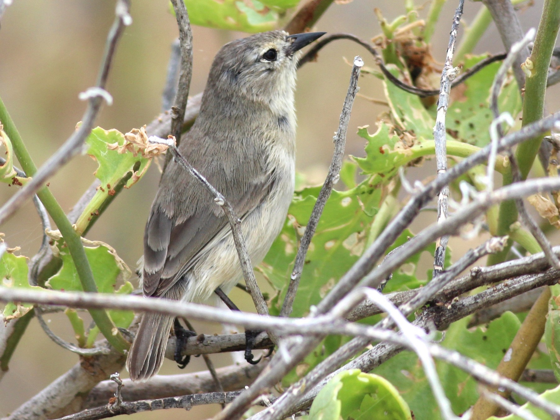 Gray Warbler-Finch - Shawn Billerman