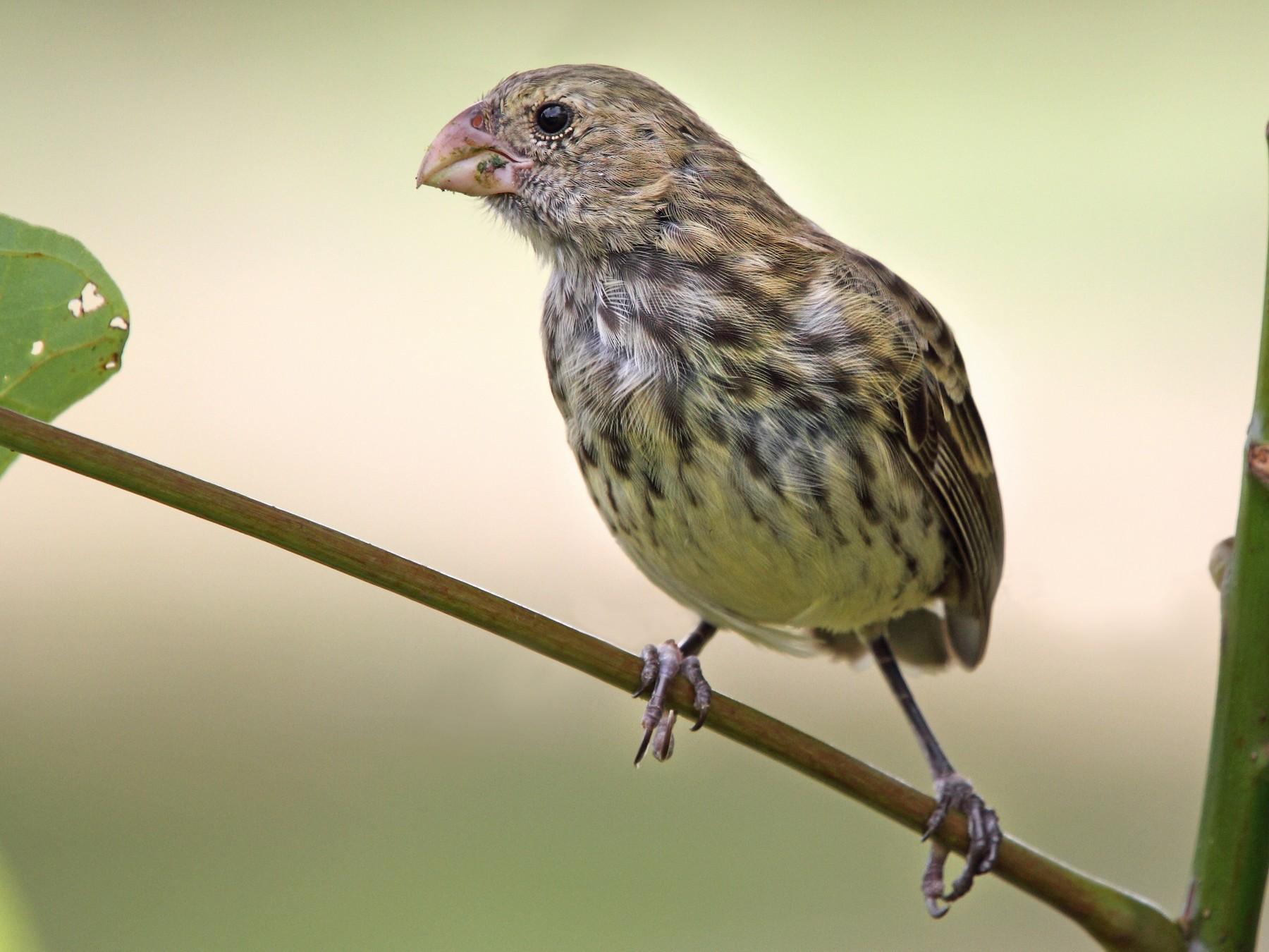 Vegetarian Finch - Rhys Marsh