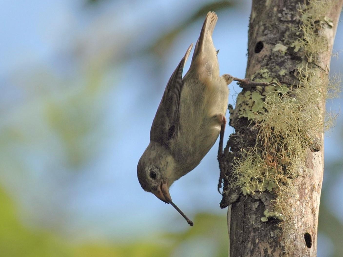 Woodpecker Finch - Andrew Dobson