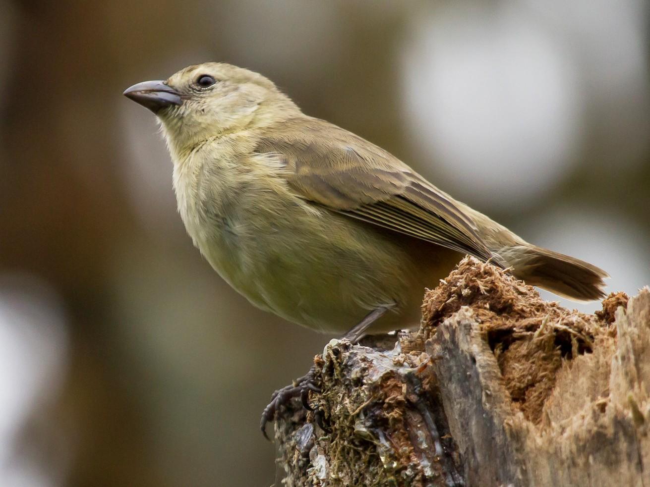 Woodpecker Finch - David Marques