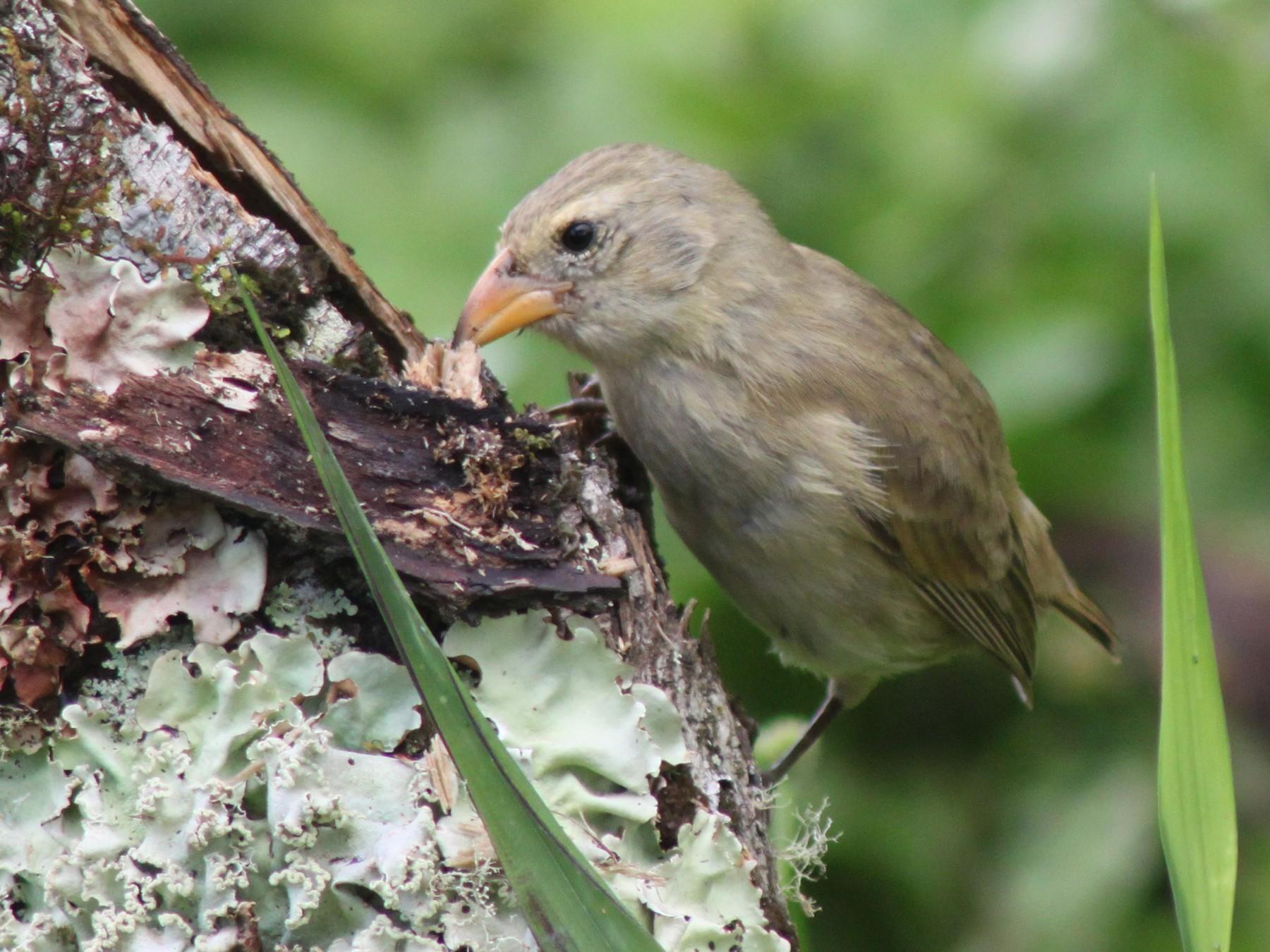 Woodpecker Finch - John Drummond
