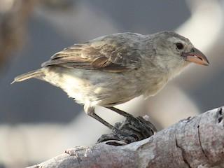 - Woodpecker Finch