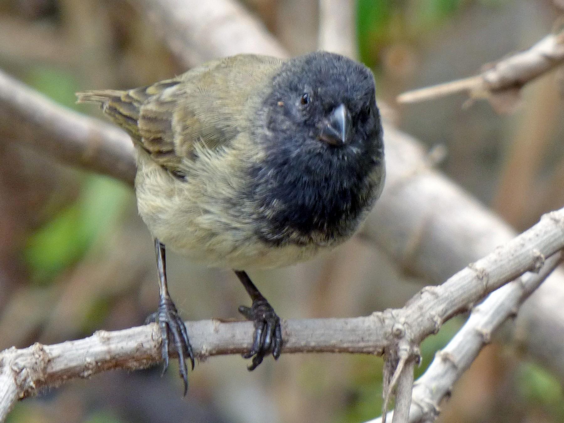 Large Tree-Finch - Quinn F.