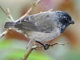 - Medium Tree-Finch