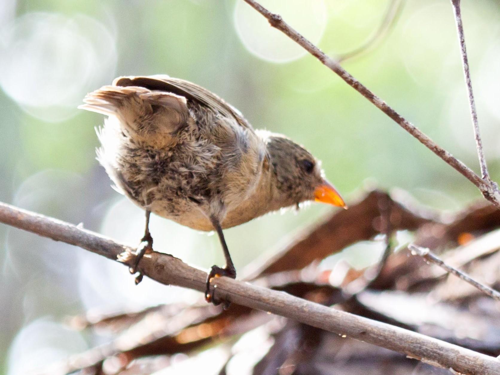 Mangrove Finch - Sue Wright