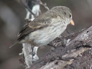 - Mangrove Finch