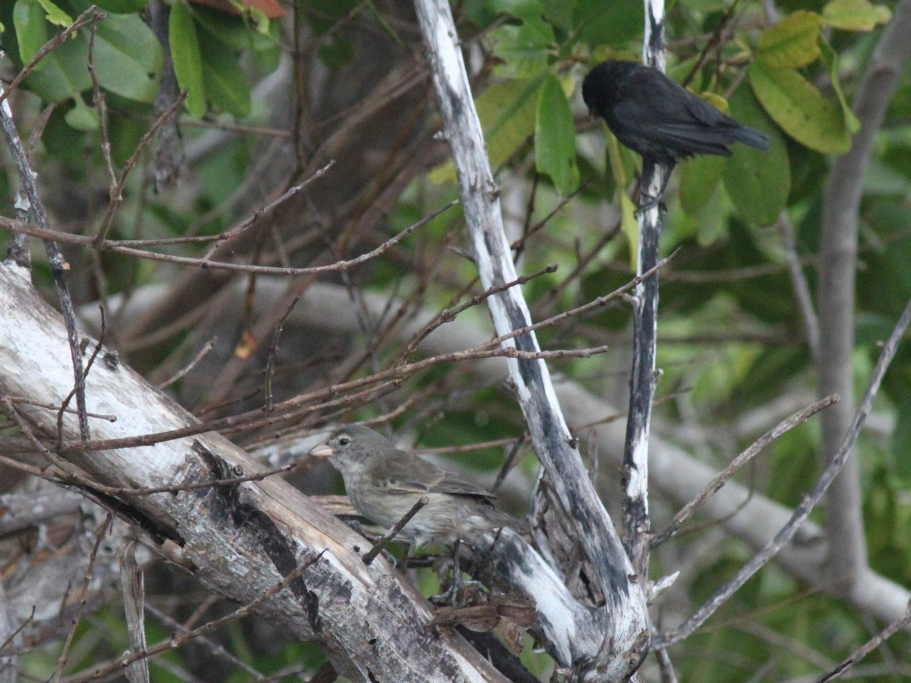 Mangrove Finch - John Drummond