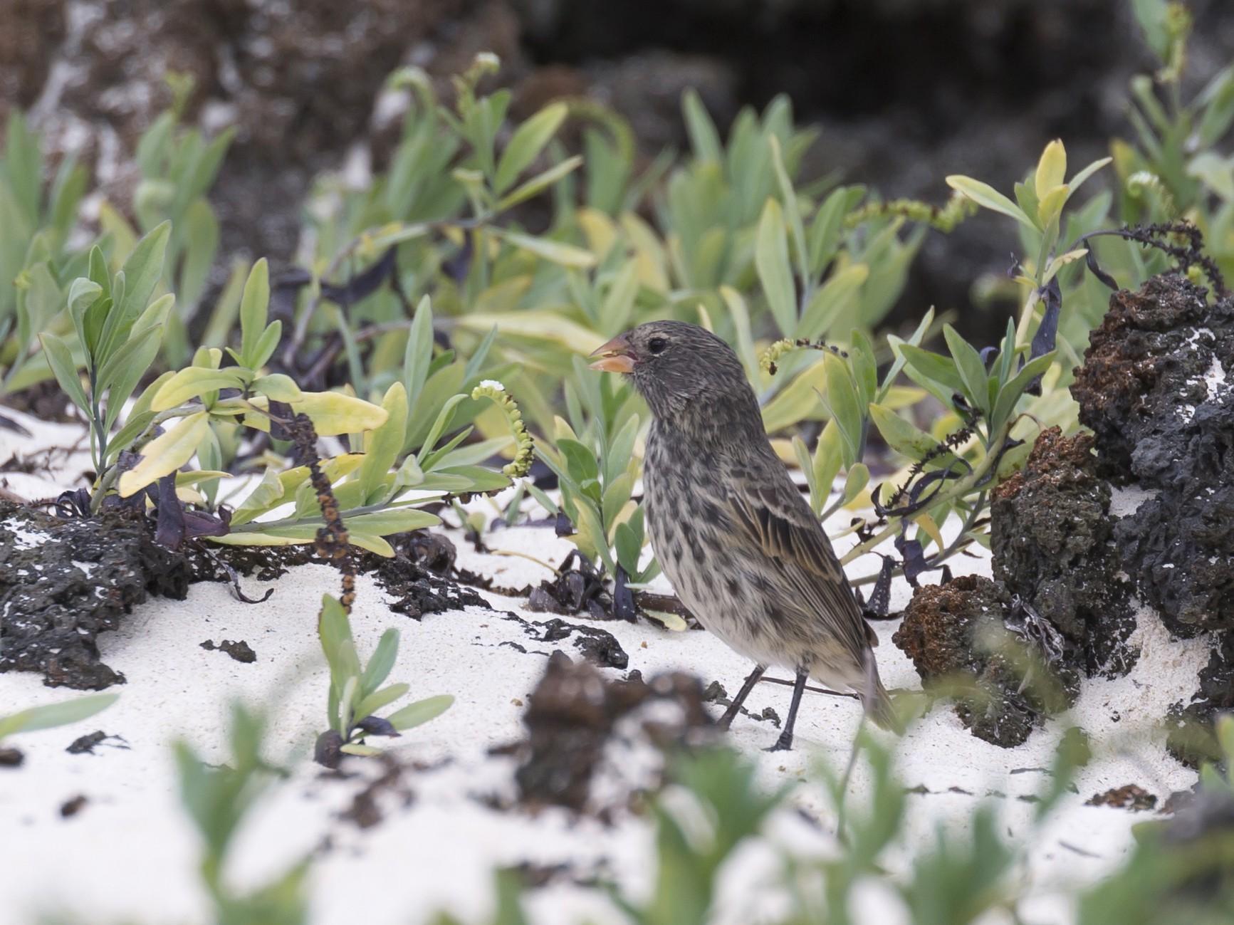 Small Ground-Finch - Glenn Lahde