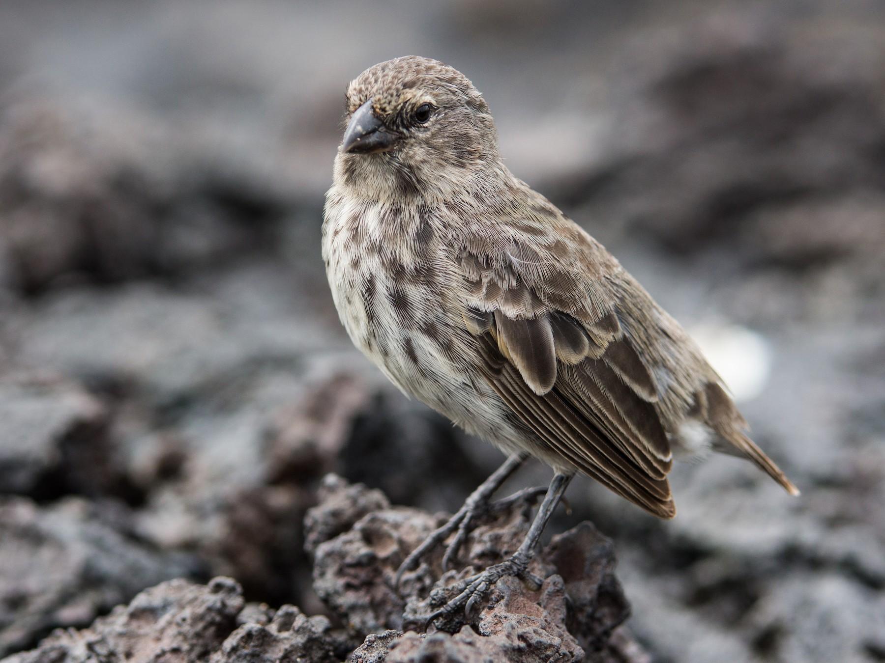 Small Ground-Finch - Becca Engdahl