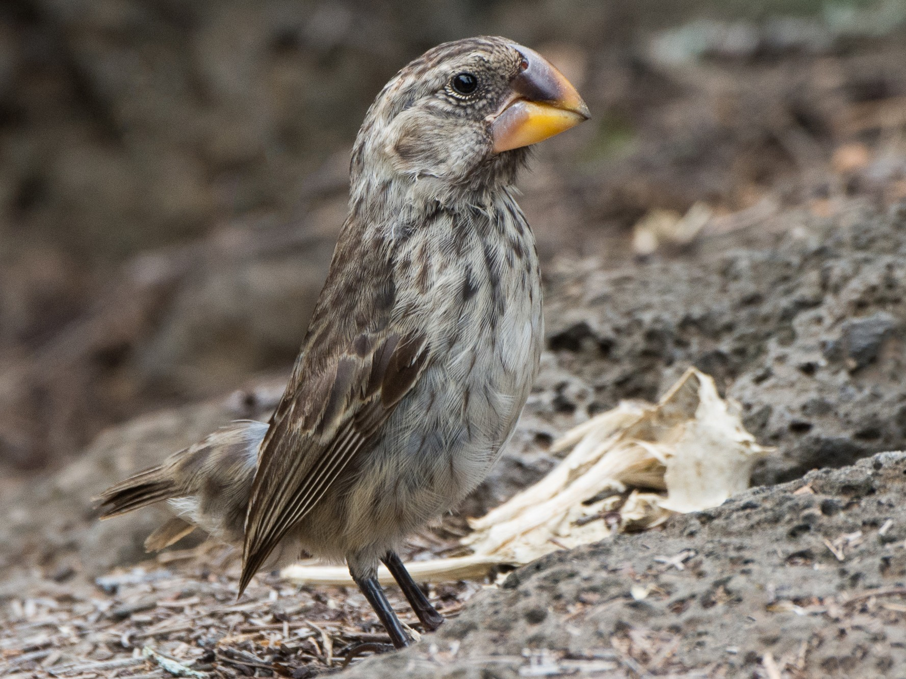 Large Ground-Finch - George Pagos