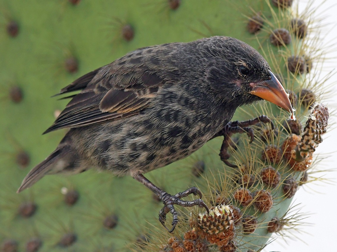 Common Cactus-Finch - Joshua Vandermeulen