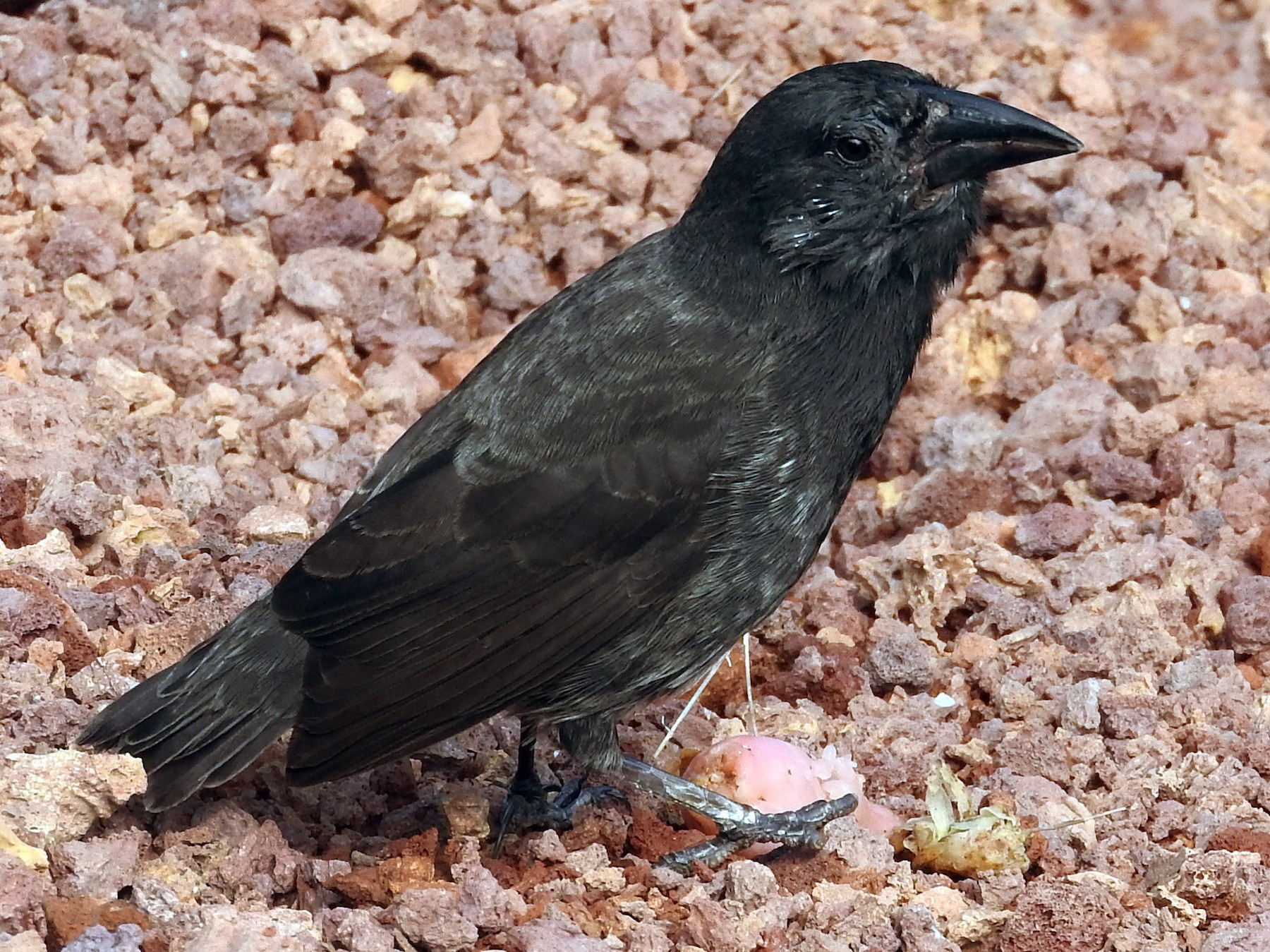 Common Cactus-Finch - Cole Gaerber