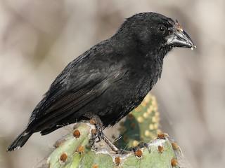 - Genovesa Cactus-Finch