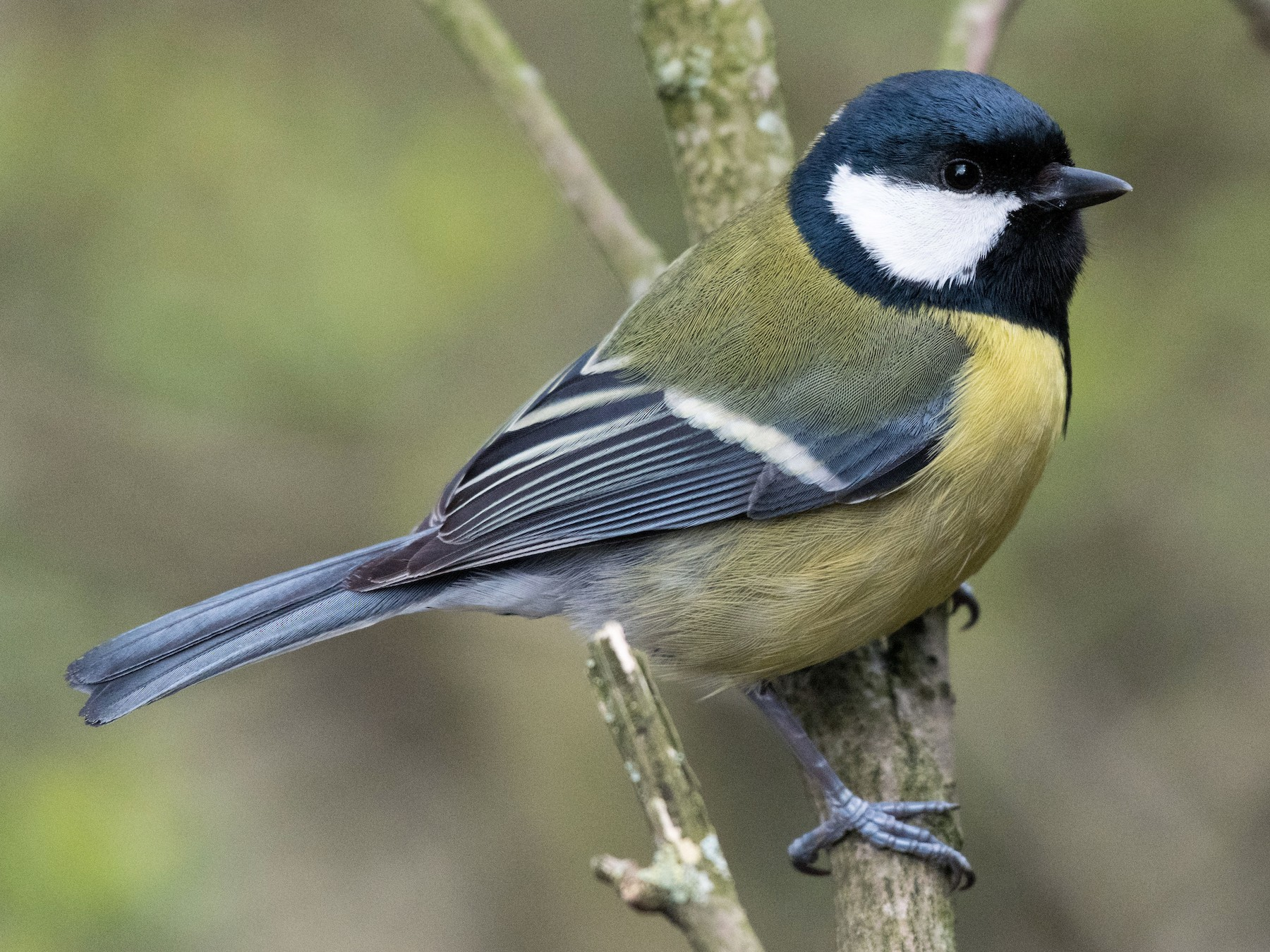 Great Tit - Steven McGrath