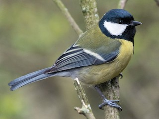 - Great Tit