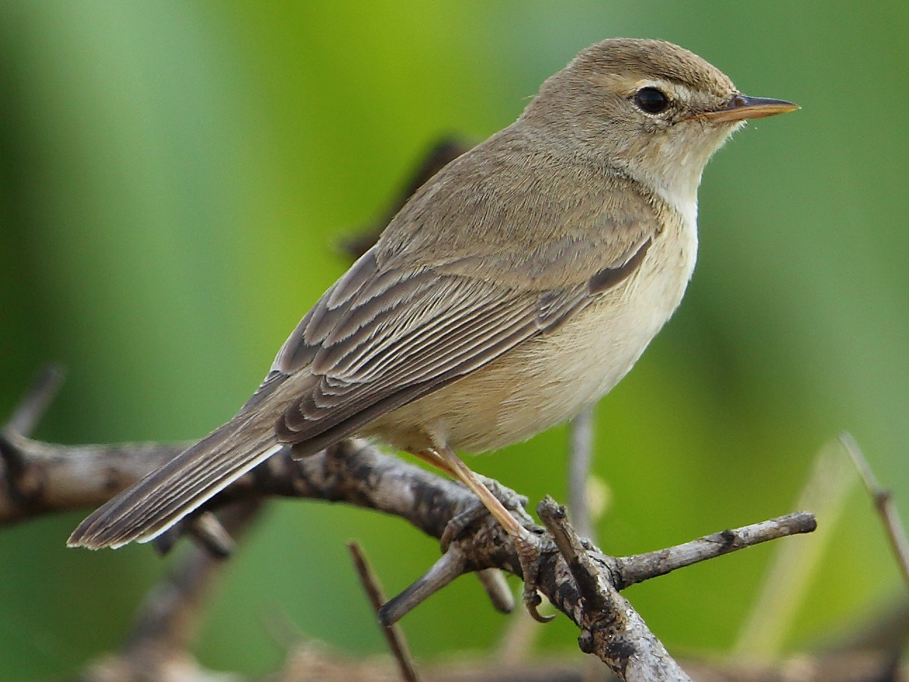 Booted Warbler - Albin Jacob