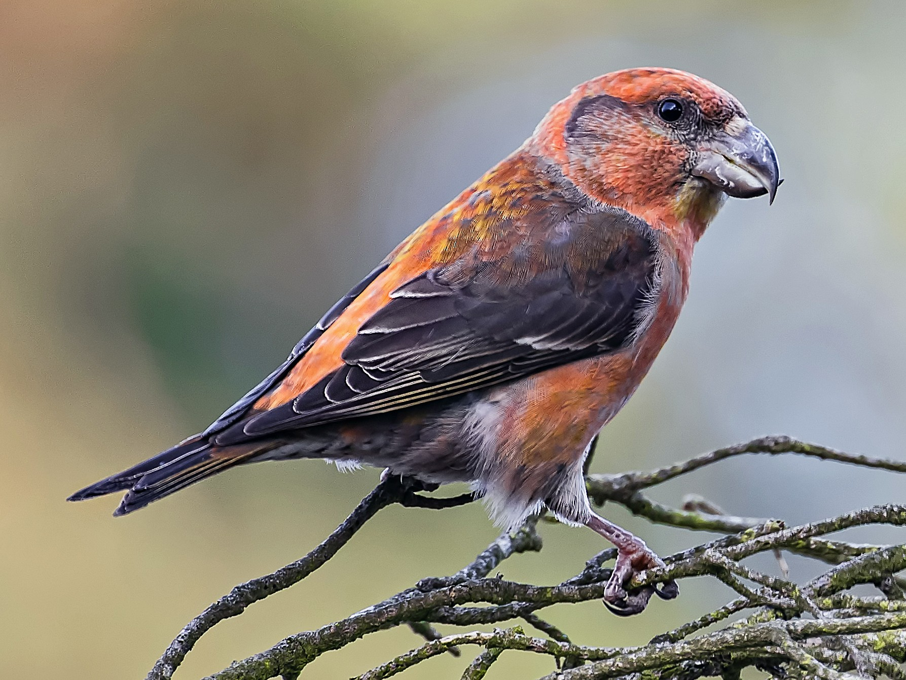 Parrot Crossbill - John George Richardson