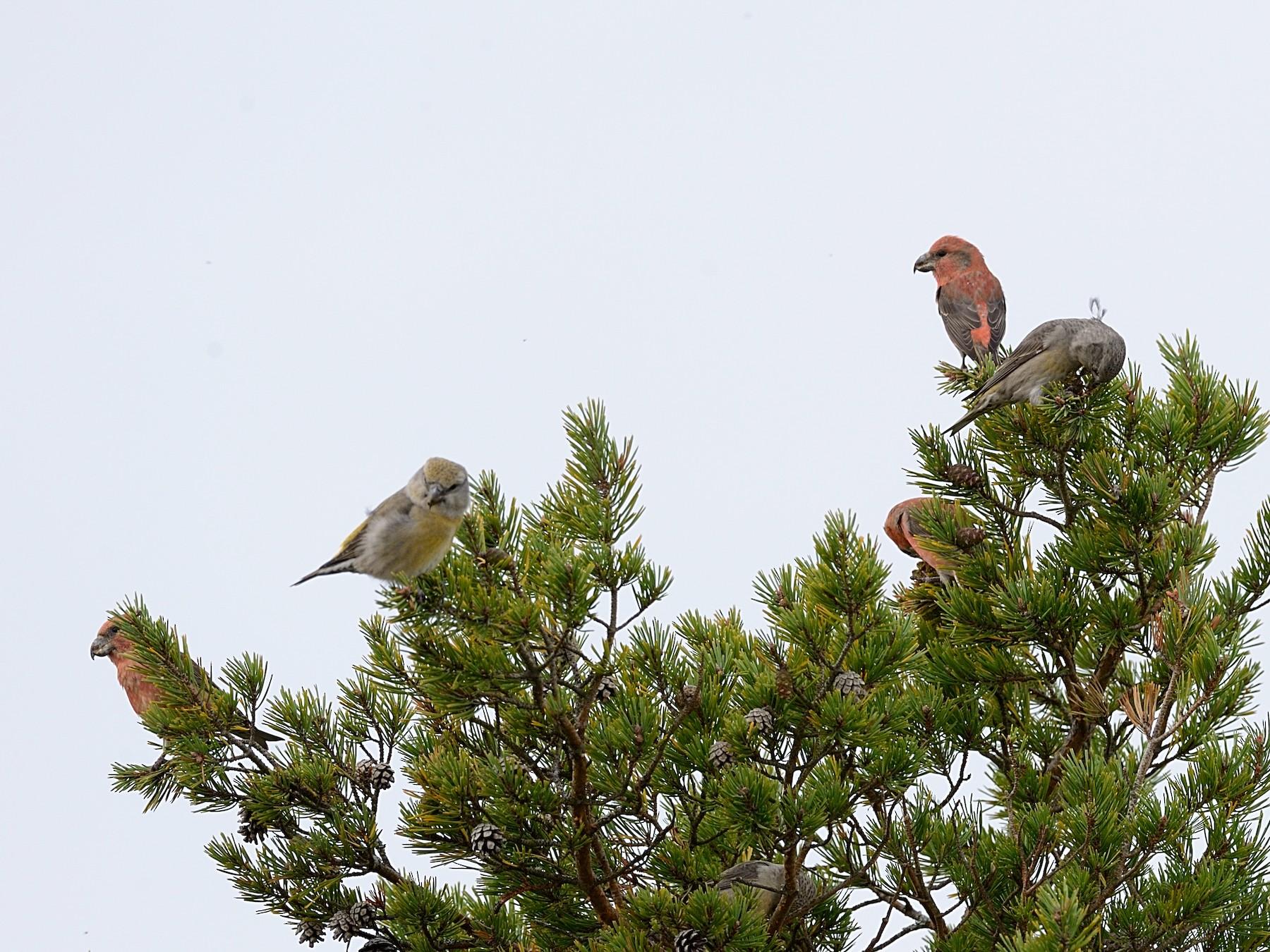 Parrot Crossbill - Hans Norelius