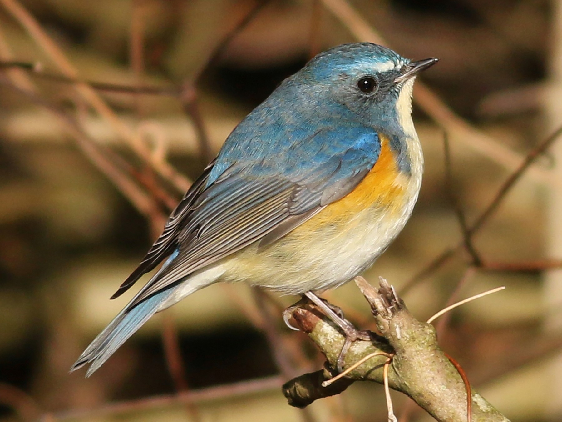 Red-flanked Bluetail - Nick Bonomo