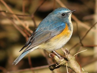 - Red-flanked Bluetail