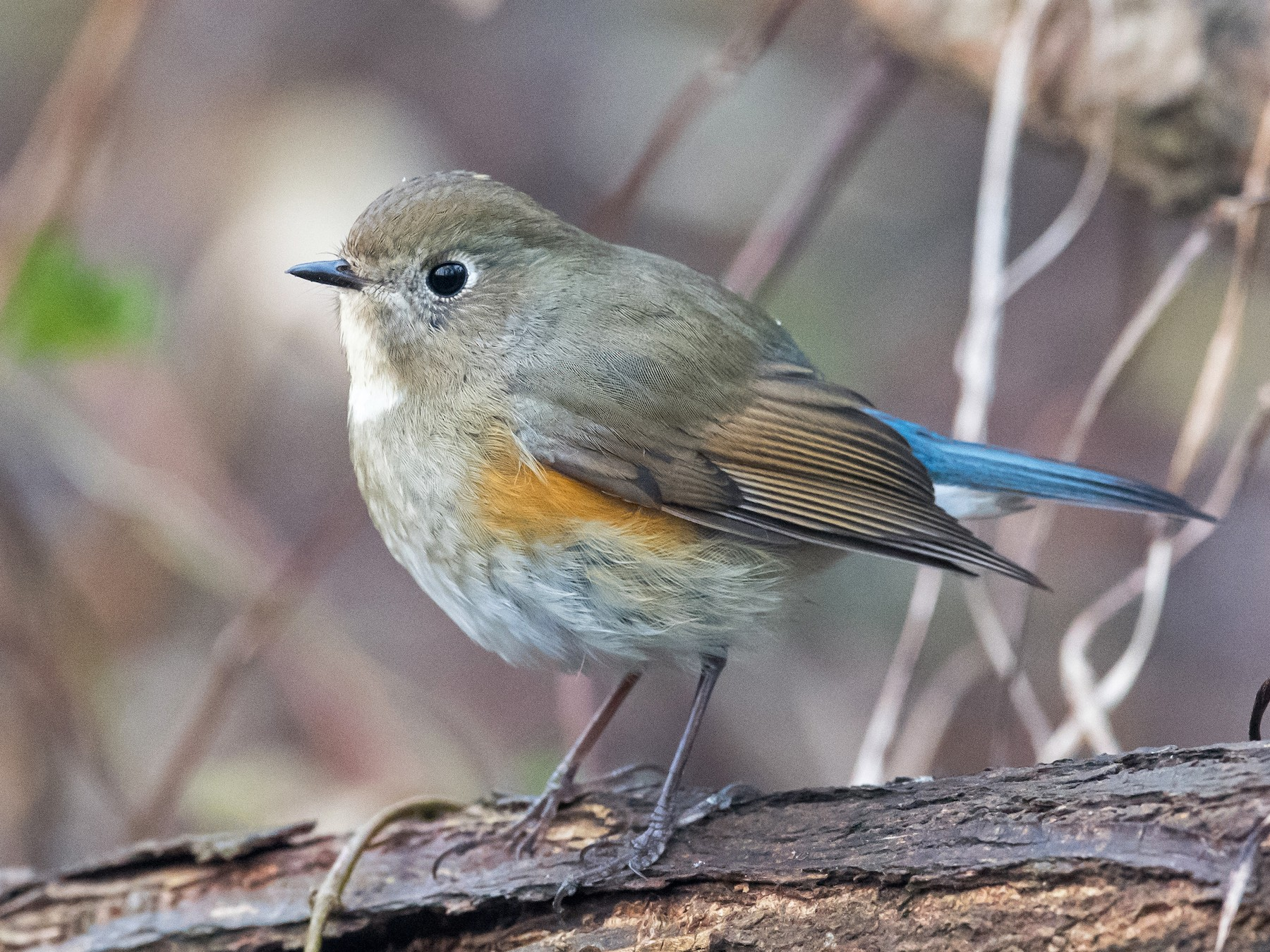 Red-flanked Bluetail - Kai Pflug