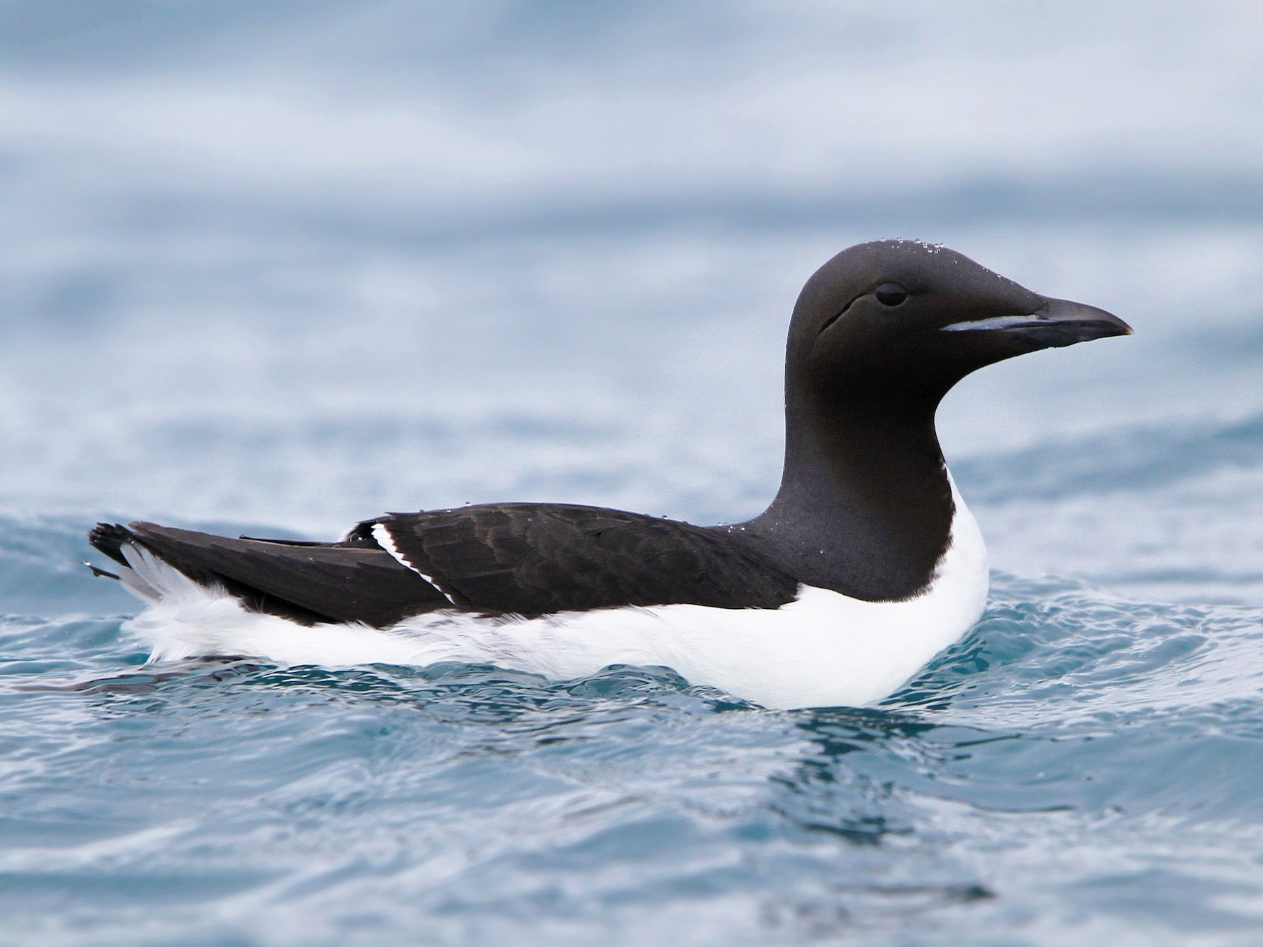 Thick-billed Murre - Christoph Moning