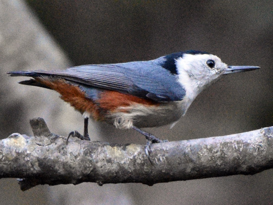 White-cheeked Nuthatch - Sanjiv Khanna