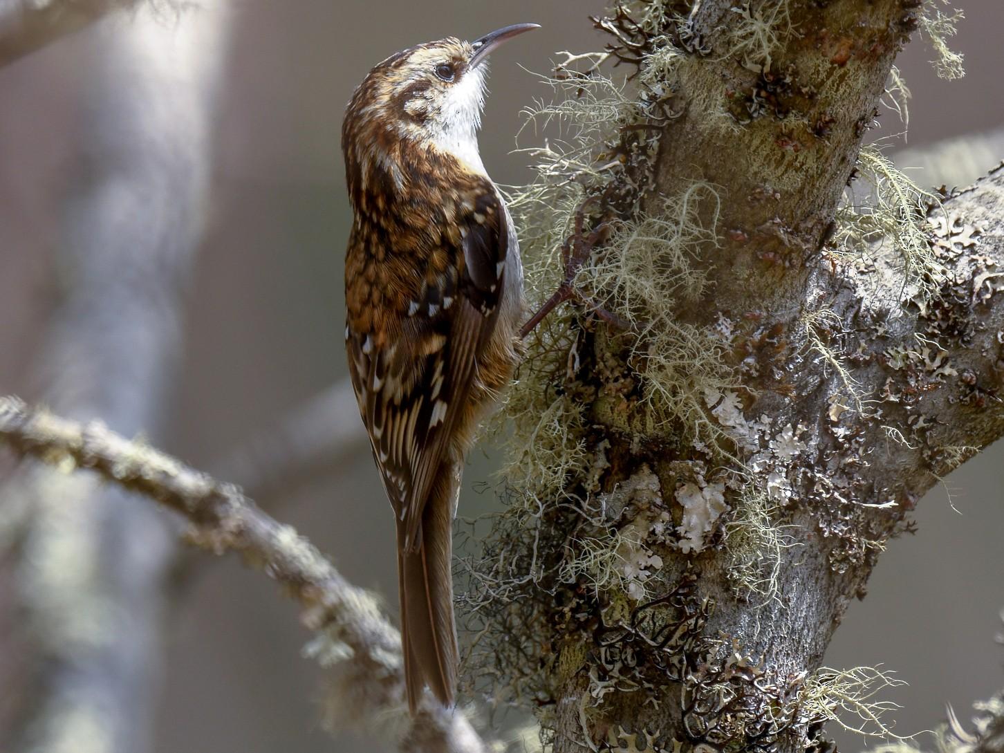 Hodgson's Treecreeper - Saurabh Sawant
